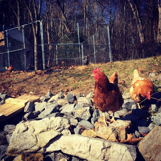 A couple of our hens.