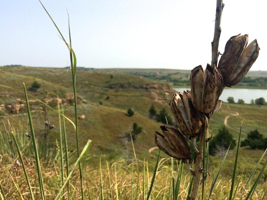 switchgrass plants